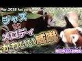 ジャズ vs メロディ かわいい威嚇 神戸市王子動物園(レッサーパンダ)Red panda Kobe City Oji Zoo