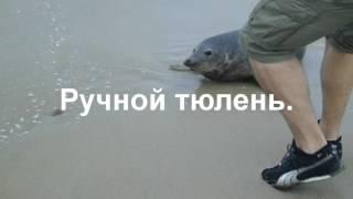 Морской леопард.Тюлень.Ручной тюлень,