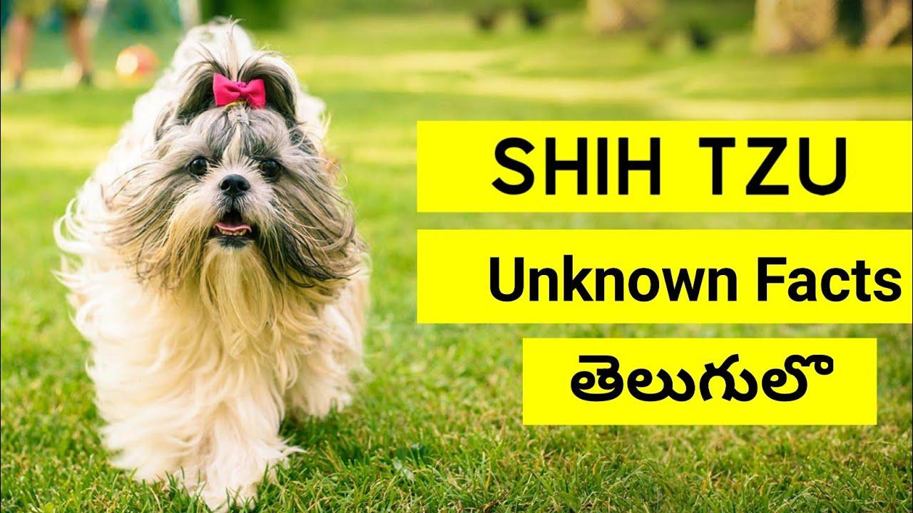 Shih Tzu Dog Unknown Facts in Telugu | Pets TV Telugu