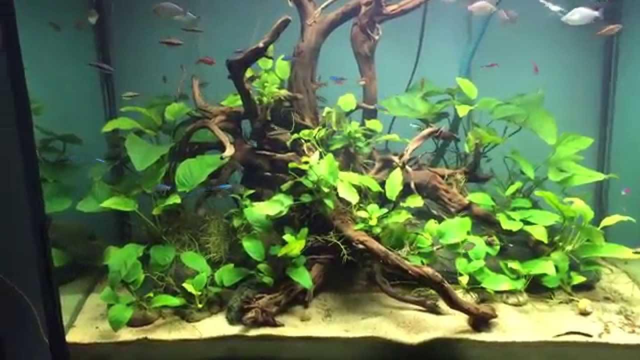 aquarium anubias