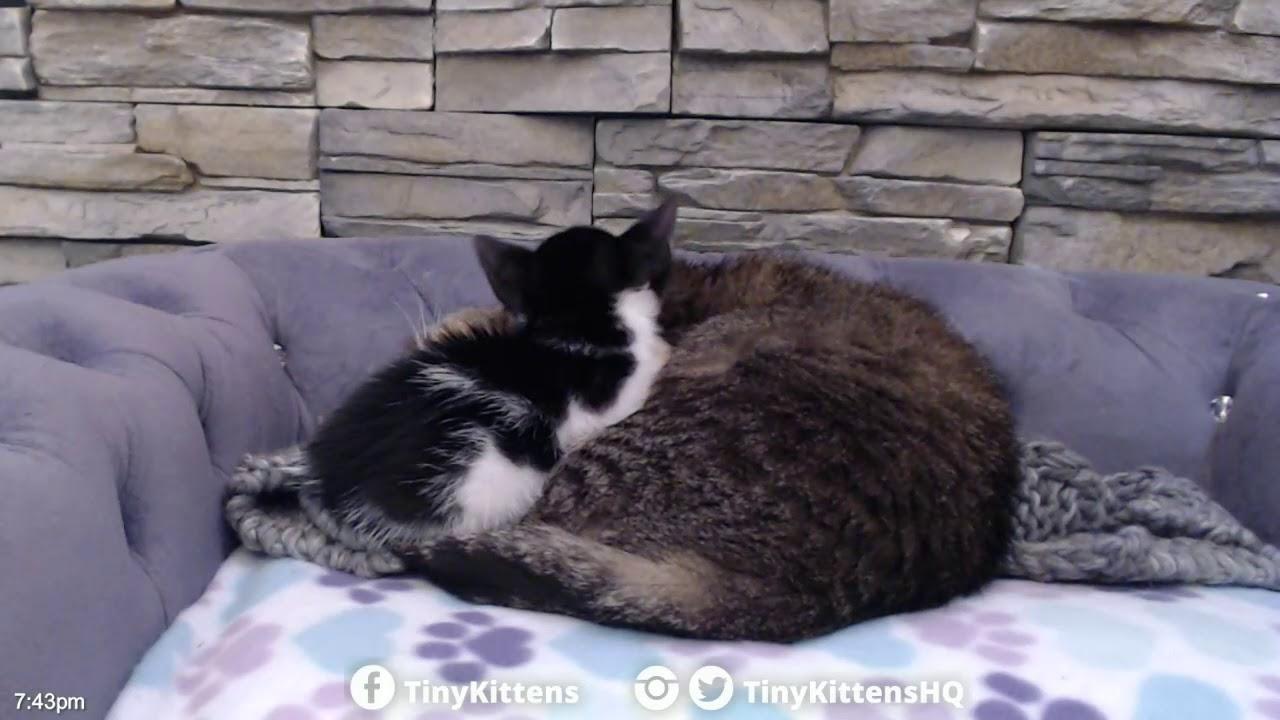 Tiny orphan kitten finds grandpa!  TinyKittens.com