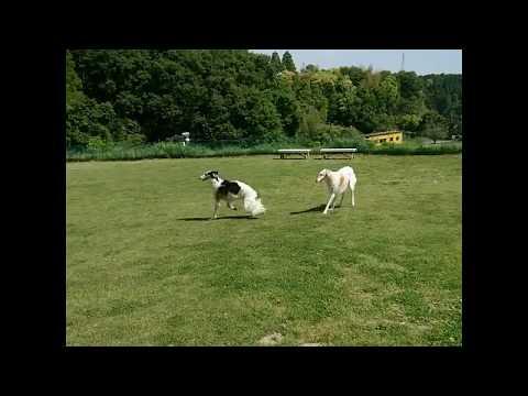 Borzoi - Dogs Running Videos