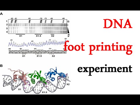 DNA footprinting experiment