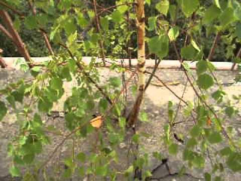 Какое дерево самое твердое в России береза шмидта купить