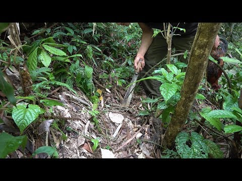 How to make cock trap, survival in the tropical rainforest, ep 52
