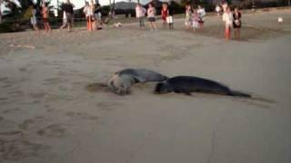 Hawaiian Monk Seals, mother and baby