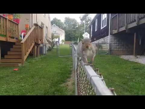 Wally the Squirrel: Running on a fence!
