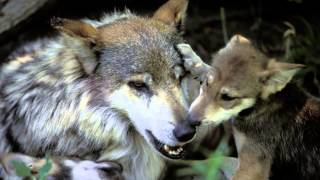 Mexican Gray Wolves on the  Brink