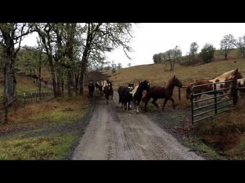 110 Horses Run to Pasture