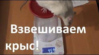 Крысиное обозрение №5! + видео от подписчика!