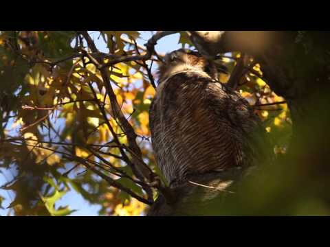 Great Horned owl in the Ramble Central Park November 20, 2015 1