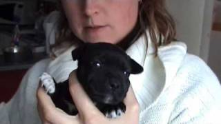 chiots staffie black / bud