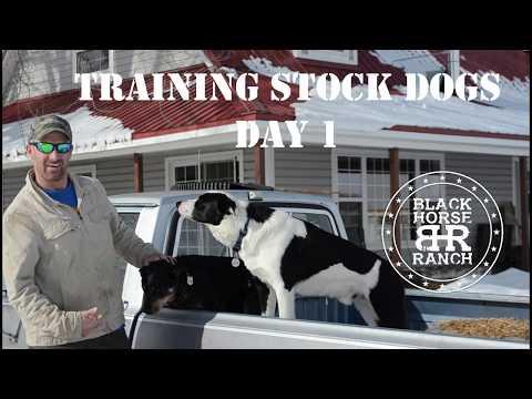 Stock Dog Training - Day 1