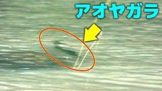 新しい釣り!サイトヤガラ!【アオヤガラ】【カマスベラ】【オジサン】【沖縄ルアー釣り】