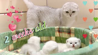 Scottish Fold mom talks with her 2 week old baby cats, feeds and cleans them | Cute kittens