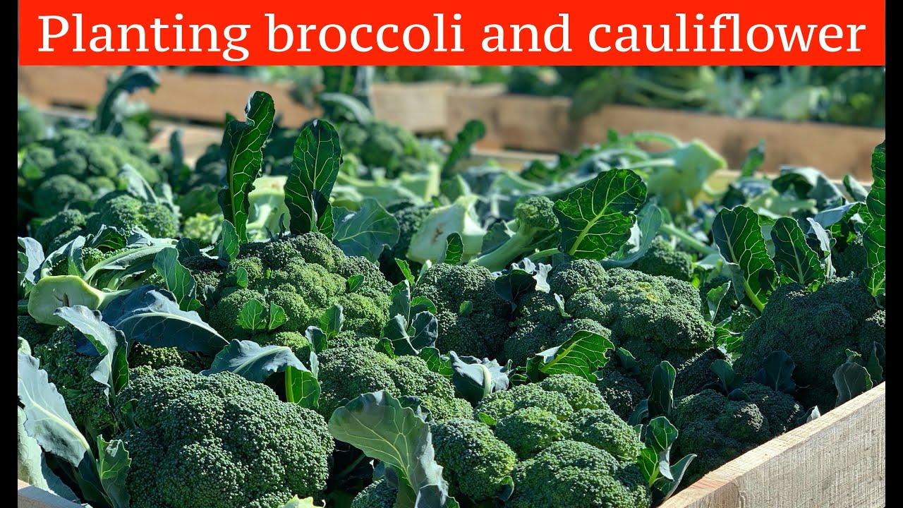 капуста брокколи уборка урожая