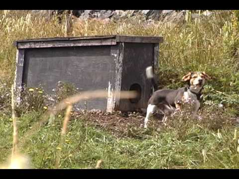 Chained Outdoor Dogs on The Burin Peninsula