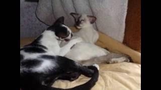 CASCADA of Megapolis Cats