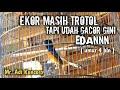 Trotol Murai Batu Mewah Gacor Ekor Masih Trotol Bermental Preman Umur  Bulan  Mp3 - Mp4 Download