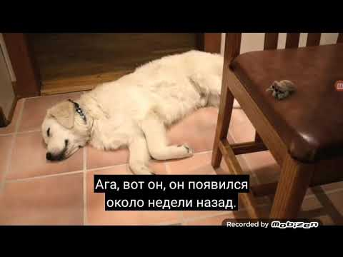Лакус Паук -  Полярный Медведь (На Русском)