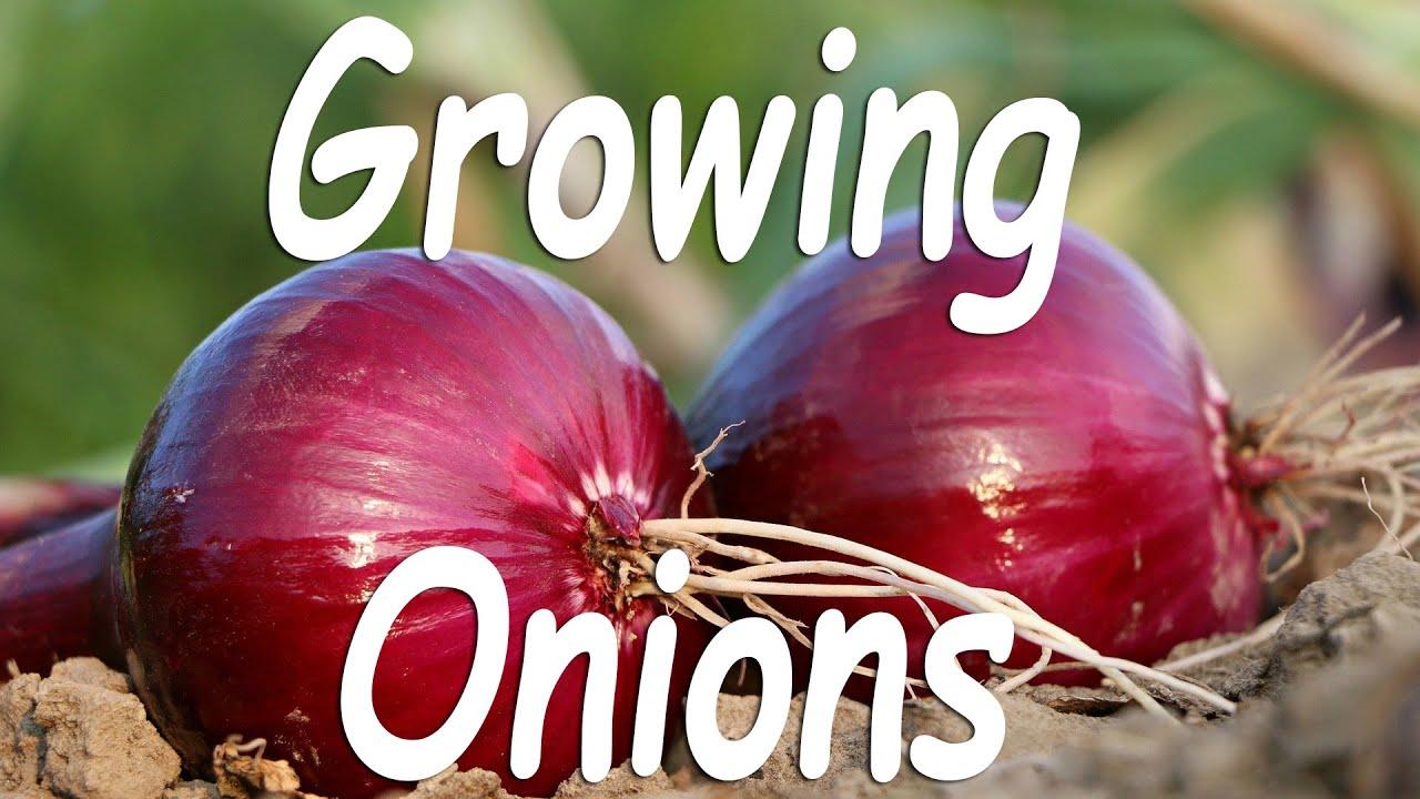 Easy Way to Grow Onion - Terrace Garden