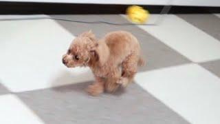 「散歩?」の一言で変なスイッチが入る犬【トイプードルのコロン】