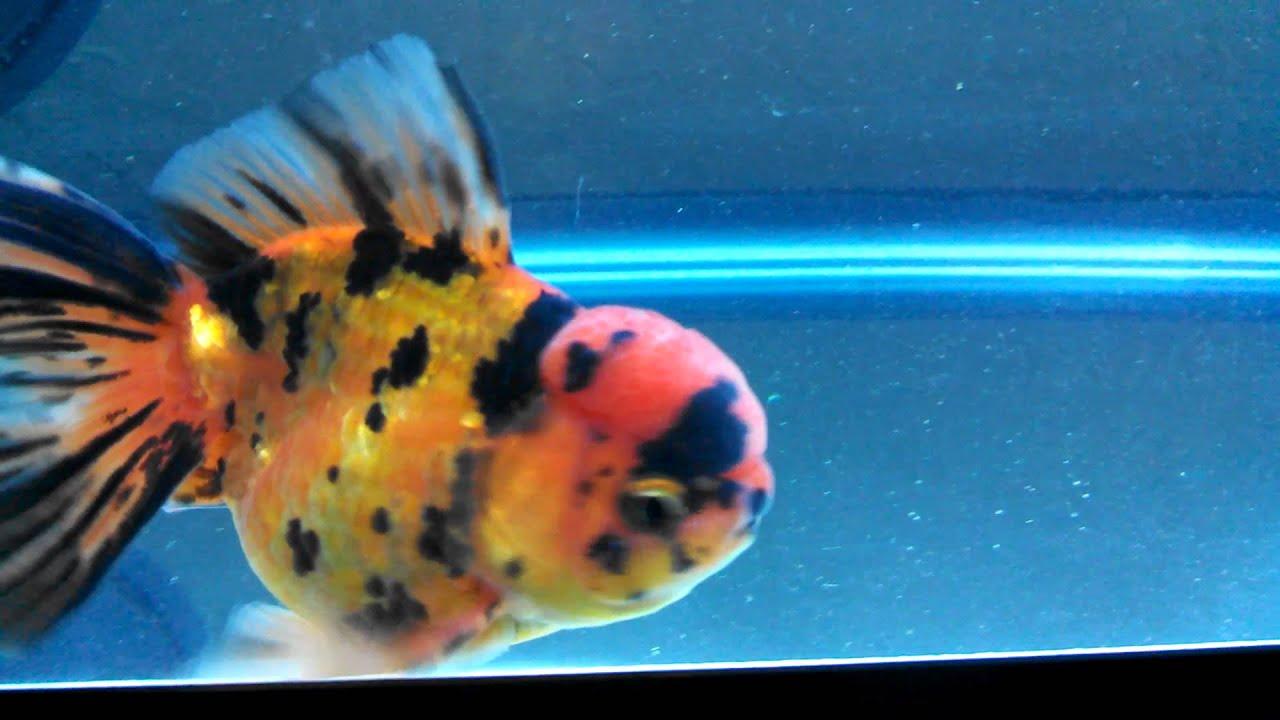Tiger Oranda Goldfish