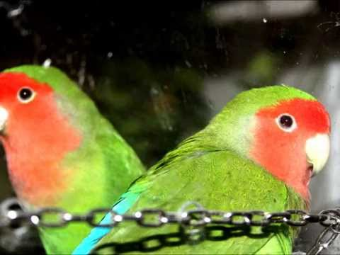 Lovebird mating... how to tell which is the femal and male