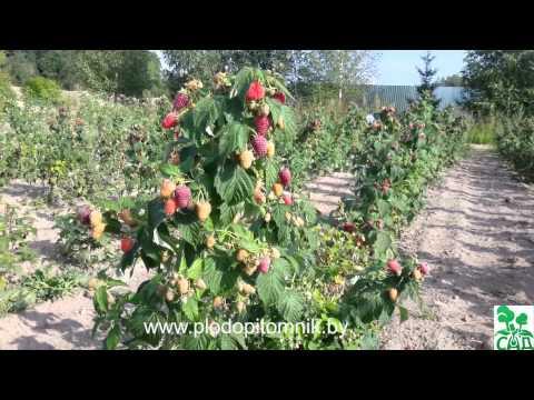 80.Малина. Высокоурожайные сорта малины.