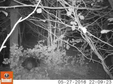 River Otter Beaver Cam: nibbling hazel