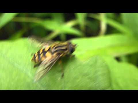 Sun Fly - Helophilus pendulus - Sveiffluga - Randasveifa - Randafluga  - Skordýr