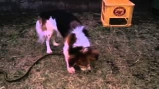 Cute Dog Beagle Everyday ビーグル犬の日常 #8
