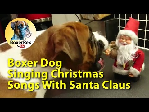 Boxer dog Rex singing Christmas songs :)
