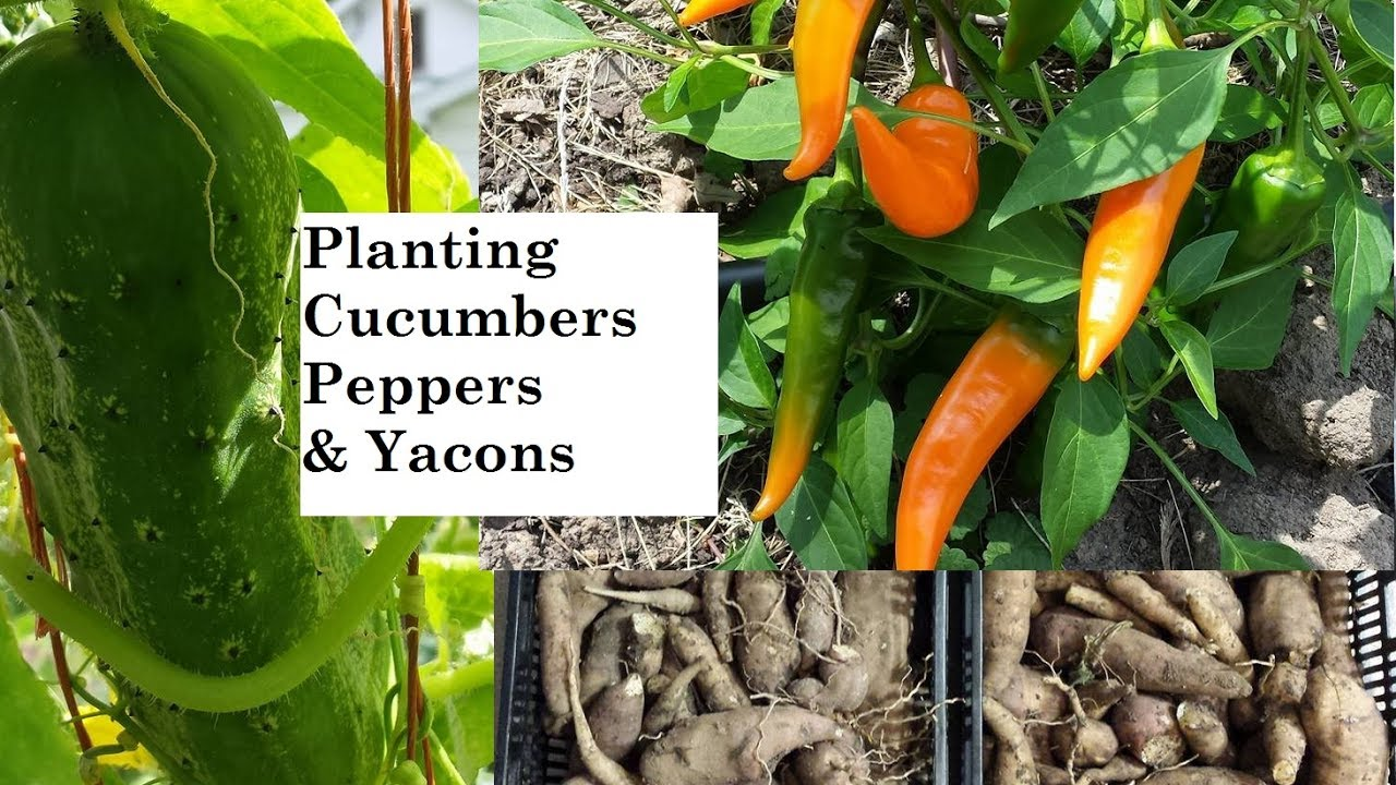 Planting Cucumbers Peppers Yacons The Wisconsin Vegetable