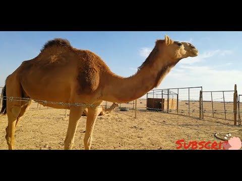 Sheep farming and Camel Farming,, Kids playing with animals., Yanbu KSA