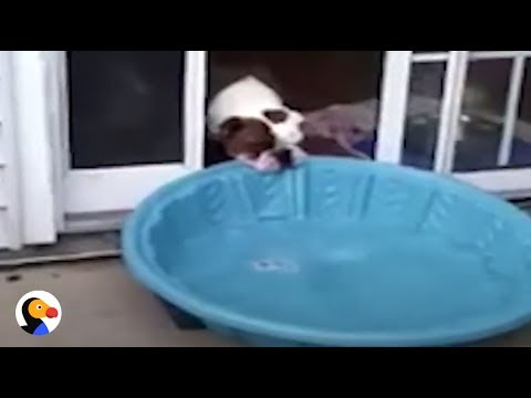 FUNNY Bulldog TRIES To Bring Pool Inside | The Dodo