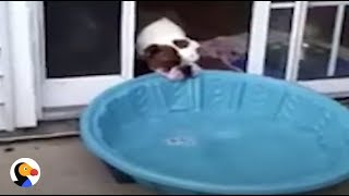 FUNNY Bulldog TRIES To Bring Pool Inside | The Dodo