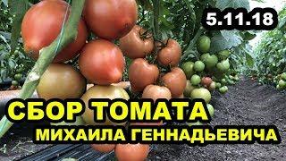 Сбор томатов у Михаила Геннадьевича, состояние на 5 ноября 2018