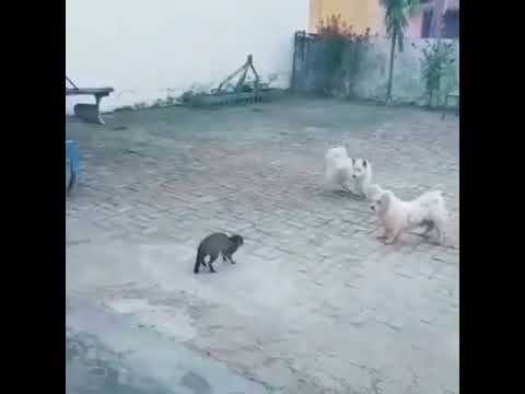 Cat vs dog fight  by || High Level Villagers ||