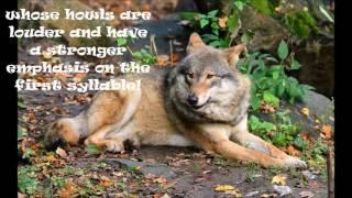 Eurasian Wolf Facts