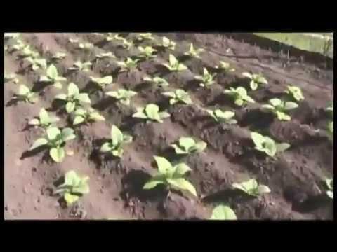 Фильм о выращивание табака от А до Я. От рассвета до заката.