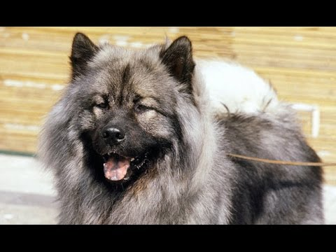 Eurasian (Eurasier) - Dog Breed