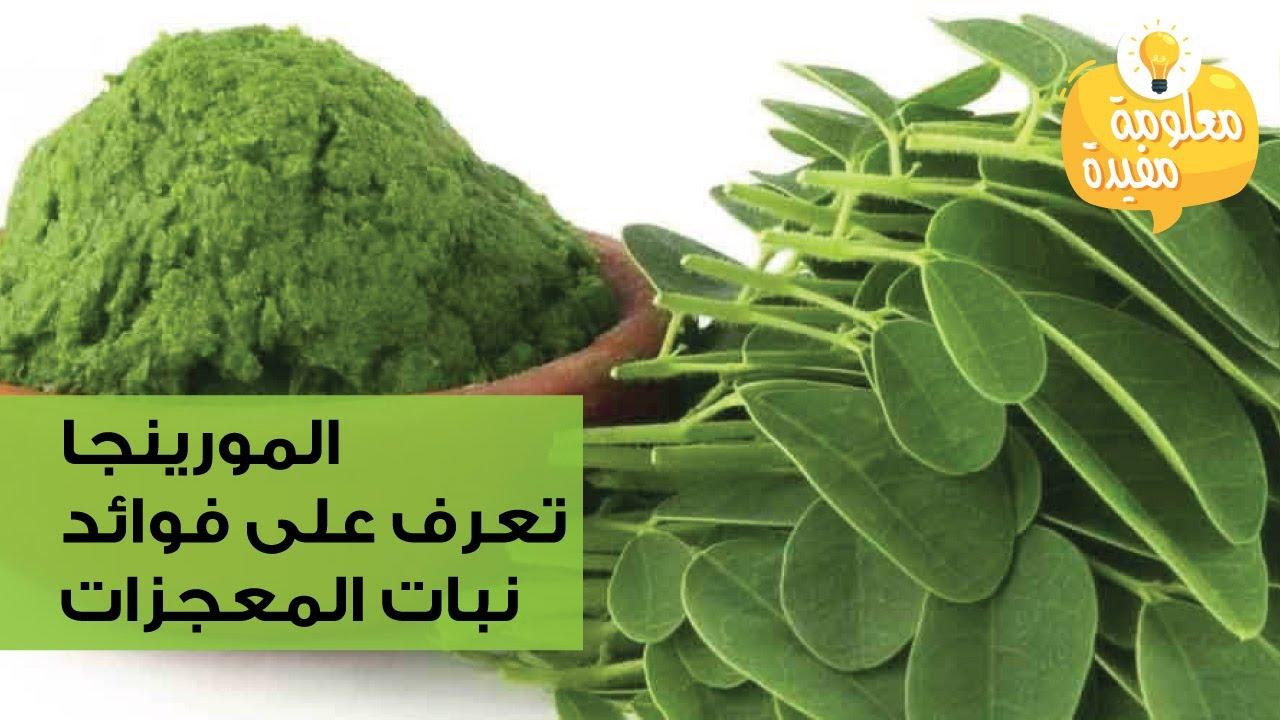 فوائد واضرار شجرة المورينجا Noeelme