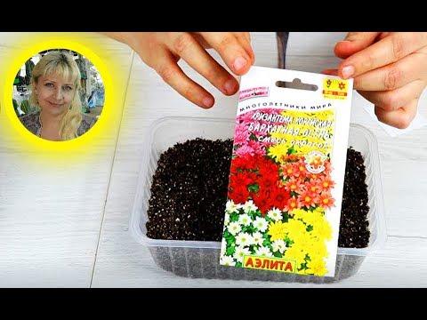 Как посадить многолетнюю Хризантему на рассаду