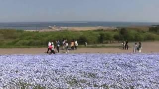 国営ひたち海浜公園ネモフィラの丘2017 ネモフィラの丘 検索動画 18