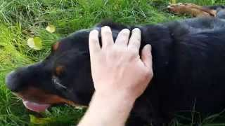 Update: Hand Feeding Scared Stray Rottweiler Dog That Needs Medical Attention.