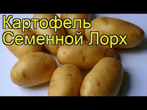 Картофель семенной Лорх. Краткий обзор, описание характеристик, где купить картофель Lorh