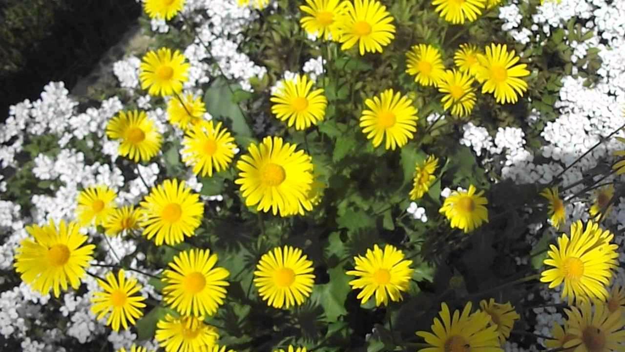 Желтая ромашка многолетняя фото цветов