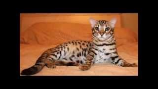 Бенгальская кошка  бенгал — прерасная добрая порода кошек