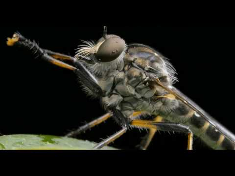 Robber Fly Up Close and Personal in [4K]